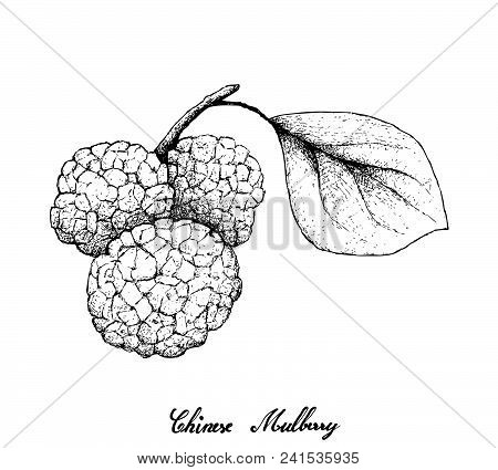 Tropical Fruits, Illustration Of Hand Drawn Sketch Fresh Sweet Chinese Mulberries Or Morus Australis