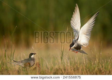 Whiskered Tern (Chlidonias hybrida) feeding chicks captured in flight. poster
