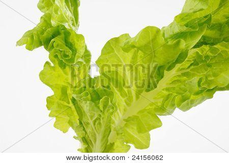 Fresh Green Oak Lettuce