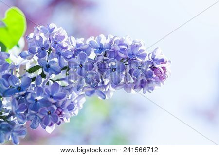 Beautiful Springtime Floral Background With Bunch Of Violet Purple Flowers. Lilac Blooming Plants Ba