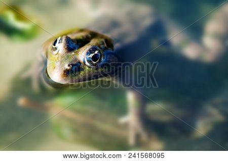 Green Marsh Frog Natural Habitat, Camouflage Amphibian Pelophylax Ridibundus. Macro View, Selective
