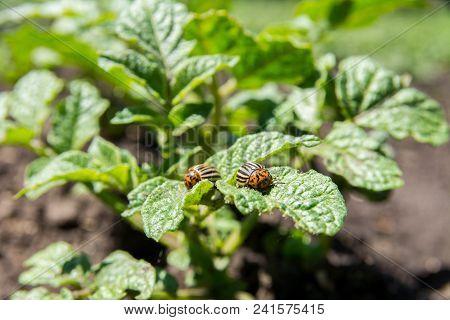 Potato Bugs On Green Leaves Of Potato Bush.