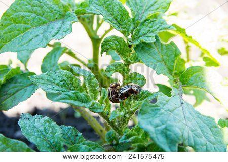 Colorado Beetles Copulate On Green Leaves Of Potato Bush.