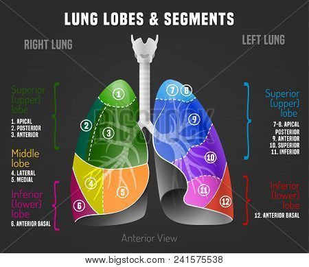 Human Lungs Infographic With Lung Lobes And Segments. Vector Illustration Isolated On A Dark Grey Ba