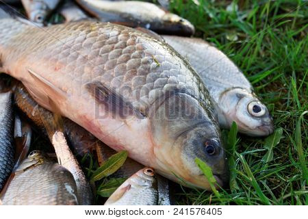 Crucian carp and another fish on grass, close-up