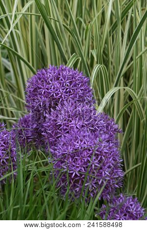 Purple Persian Onion Flower In Spring, Allium Cristophii, Persian Onion Or Star Of Persia