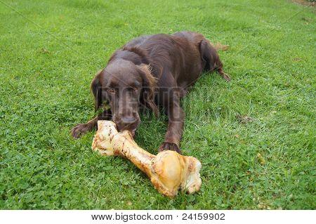 Dog Eating Very Large Bone
