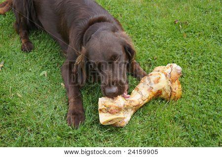 A Dog Eating a Bone