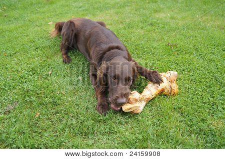 Dog Eating a Large Bone
