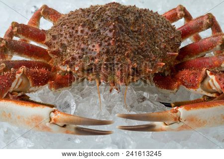 Single fresh raw spider crab on ice close up