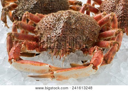 Fresh raw spider crabs kept on ice close up
