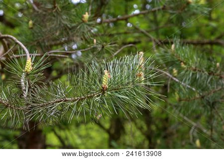 Forest / Coniferous Trees In Forest / Needles Close-up