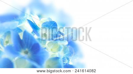 Soft blue Hydrangea (Hydrangea macrophylla) or Hortensia flower with water dew on petals. fading into white background.  Shallow depth of field for soft dreamy feel. Wide format.