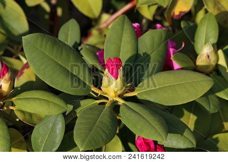 Rhododendrons  The Rhododendrons Are A Genus Of The Family Ericaceae