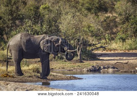 African Bush Elephant In Kruger National Park, South Africa ; Specie Loxodonta Africana Family Of El