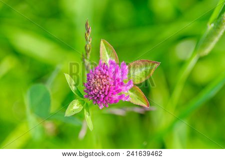 Pink Clover Flower In Green Background. Close Up.