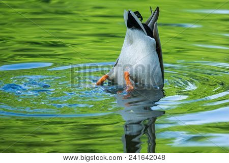 Close-up of a Mallard Duck (Anas platyrhynchos) who is diving in the Water. View to a diving Duck at the Lake. Season of Mallard Ducks. Back View of a Mallard Duck. Animals and Wildlife Backgrounds.