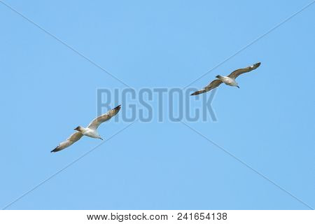 Sea Gull Bird Flying View From Below, On Clear Blue Sky.