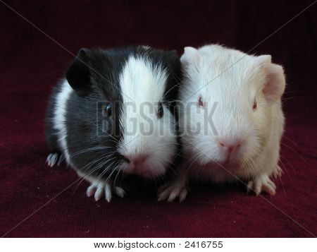 Pair Of Cute Baby Guinea Pigs