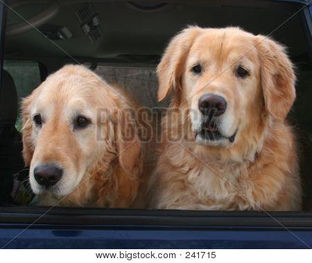 Goldens In Car