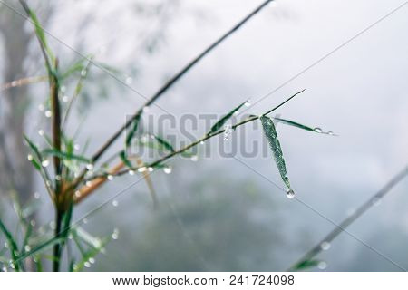 Bamboo And Water Drops  Among Mist