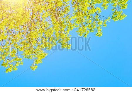 Spring Background - Green Branches Of Spring Forest Trees Extend To The Blue Sky In Sunny Spring Day
