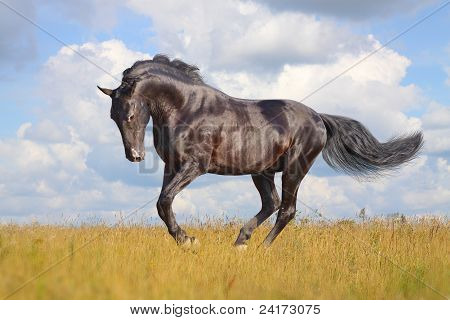 poster of black stallion in an autumn field galloping