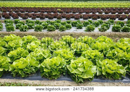 Field With Rows Of Colorful, Fully Grown Lettuce Heads, Ready For Harvesting. Agriculture Industry,