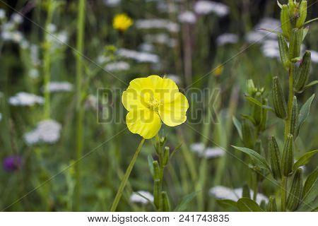 Yellow Flower Oenothera Or Evening Primrose In Field