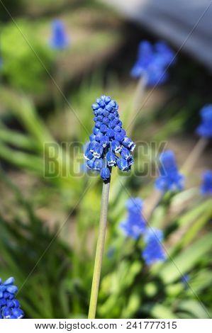 Tiny Beautiful Bright Blue Inflorescence Bunch Of Garden Grape-hyacinth Closeup