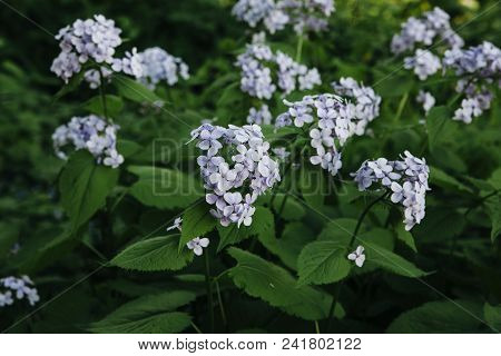 Lunaria rediviva. The lunar reviving with blue flowers. Close-up. poster