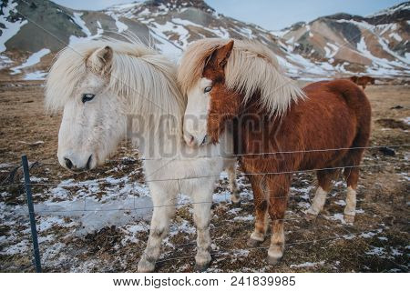 Beautiful Brown And White Horses Near Fence On Pasture In Iceland, Snaefellsnes