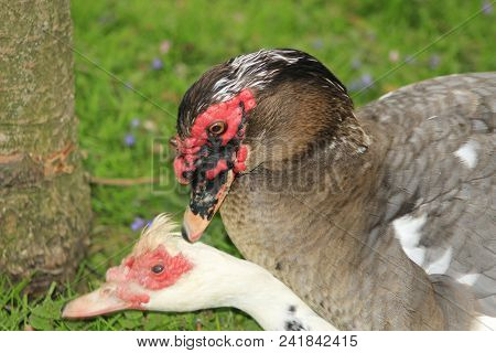 Muscovy Ducks Mating At A Local Park In Canada, These Are Often Bought As Farm Ducks. The Mating Can