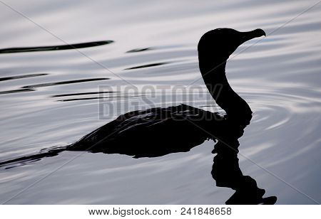 An Evening Swim: Silhouette Of Anhinga Swimming Across A Lake, Orlando, Florida