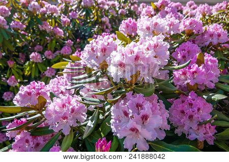 Abundant Bloom Of Pink Flowering Rhododendron Shrub In Sunny Day