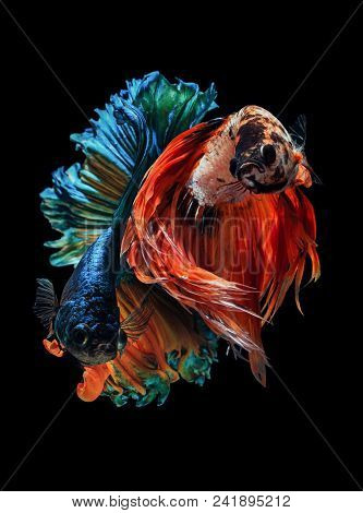 Fine Art Siamese Fighting Fish, Betta Fish, Betta Splendens