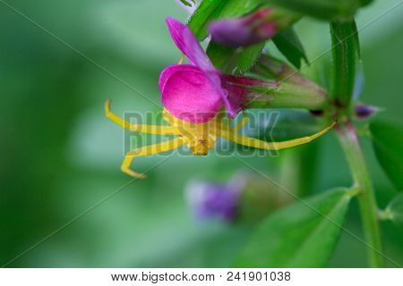 A Floral Yellow Spider (misumena Vatia) Sits Upside Down On A Purple Flower