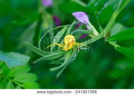 Flower Yellow Spider (misumena Vatia) On Green Grass