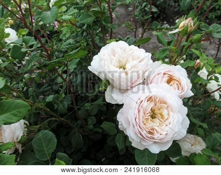 Elegant Inflorescence Of Light Pale Beige Roses On A Dark Green Background. Three White With Cream T