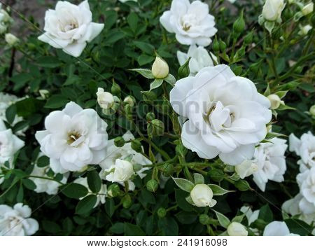Beautiful Elegant Floral Background With Delicate White Roses For Wedding Design. Small White Flower