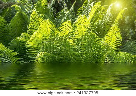 Beautiful Ferns With Green Foliage Green Flower Fern Background In Sunlight