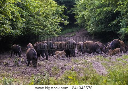 Feral pigs, sow and piglets rooting for food poster