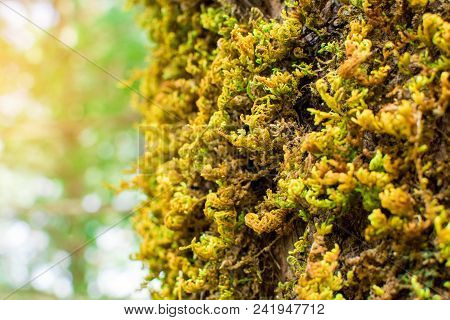 Moss-covered Stone. Beautiful Moss And Lichen Covered Stone. Bright Brown Moss Background Textured I