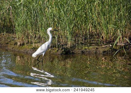 Wading Great White Egret Seen At Prime Hook National Wildlife Reserve In Delaware.