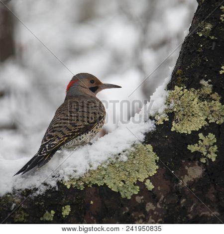Northern Flicker Bird Sits On A Snowy Apple Tree Branch.