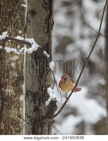 Female Cardinal Bird Perches On Tree Limb Following Snowstorm.