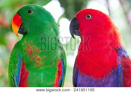 A Pair Of Green And Red Solomon Island Eclectus Parrots.