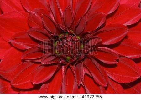 Close-up Of Red Dahlia Flower In The Summer August Garden. Macro Photography Of Nature.