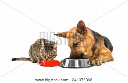 Adorable Striped Cat And Dog Eating Together On White Background. Animal Friendship
