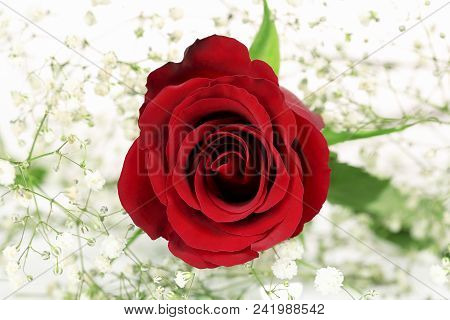 Macro Of Red Rose Surrounded By Gypsophila